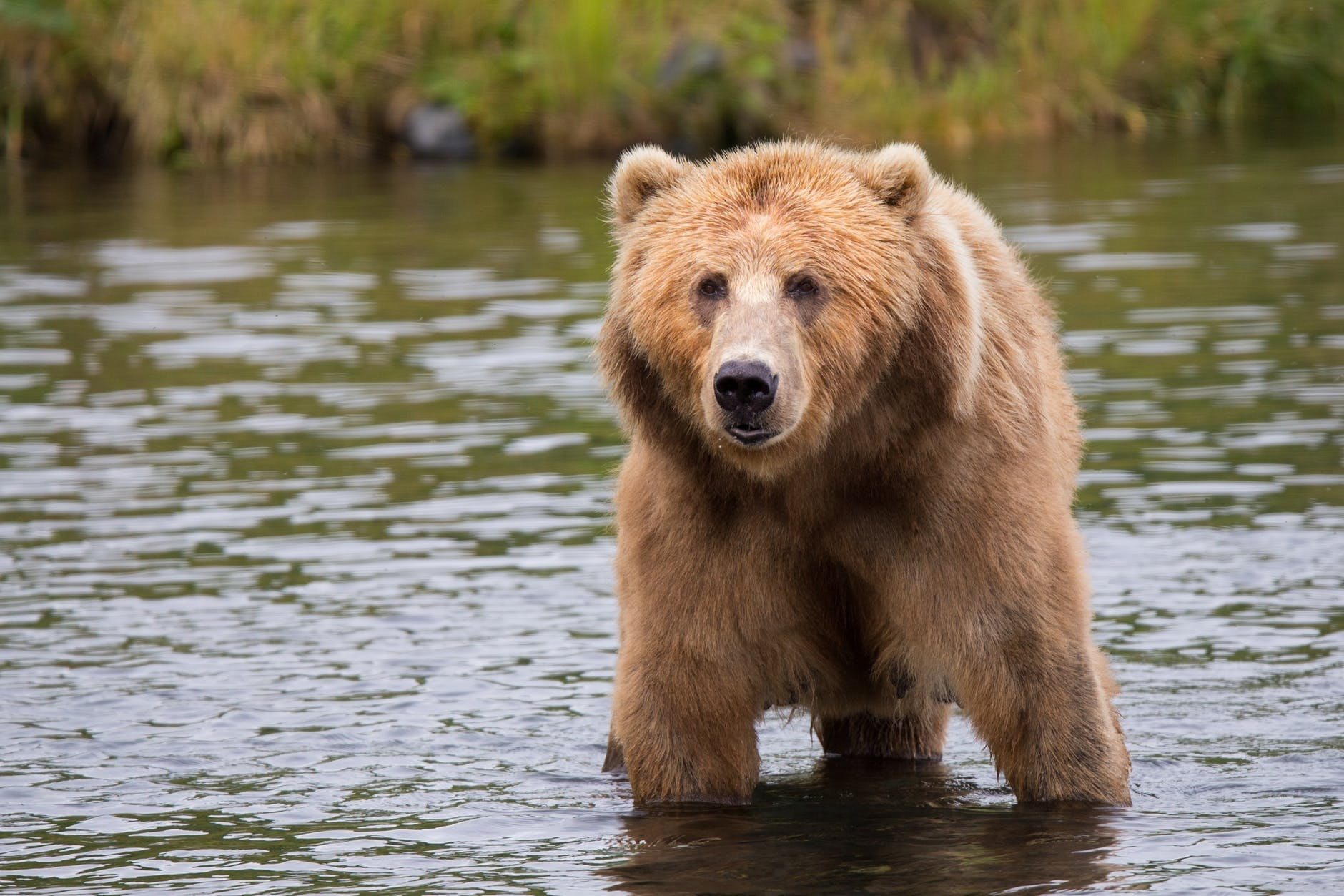 brown bear in body of water during daytime